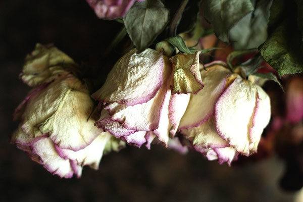 Roses fripées
