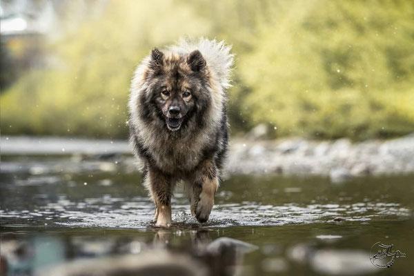 Wolfbohl News Eurasier Welpen Schweiz