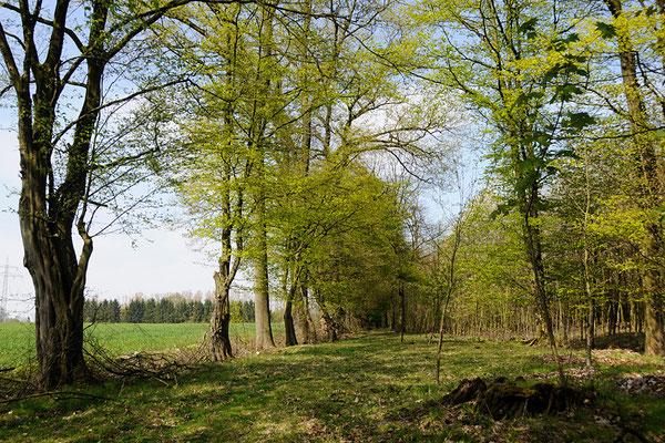 Spazierweg durch den Wald, vorbei an der alten Hainbuchenallee.