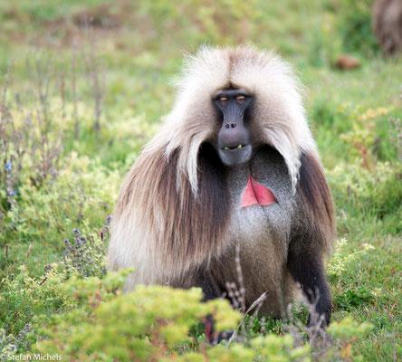 Sie tragen eine außergewöhnliche Haarpracht, haben besondere Gewohnheiten, leben ausschließlich im äthiopischen Hochland und gelten als gefährdet: die Blutbrustpaviane