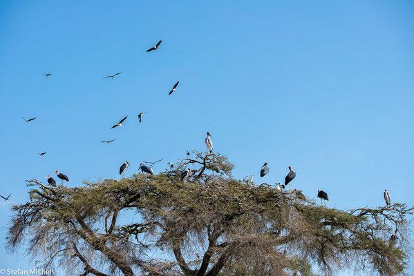 Da diese Vögel als Aas- und Schädlingsvertilger äußerst nützlich sind, liegt es im Interesse der Menschen, sie vor Verfolgung möglichst gut zu schützen.