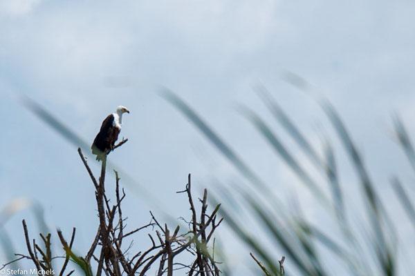 Weissbrustseeadler am Ufer.