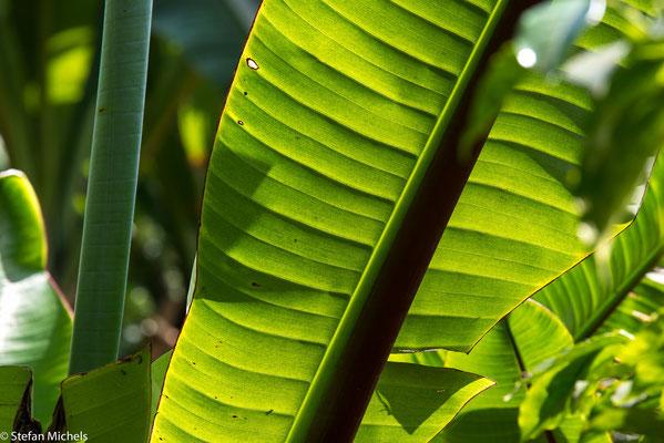 """Die """"falsche Banane"""" (Ensete) als Nahrungsmittel und zur Herstellung von Seilen, Matten, Säcken  im Süden."""