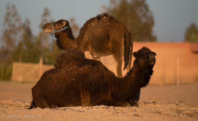 Sahara -Durch die assyrische Eroberung Ägyptens im 7. Jahrhundert v. Chr. kam das Kamel nach Afrika und löste das Pferd als wichtigstes Lastentier ab