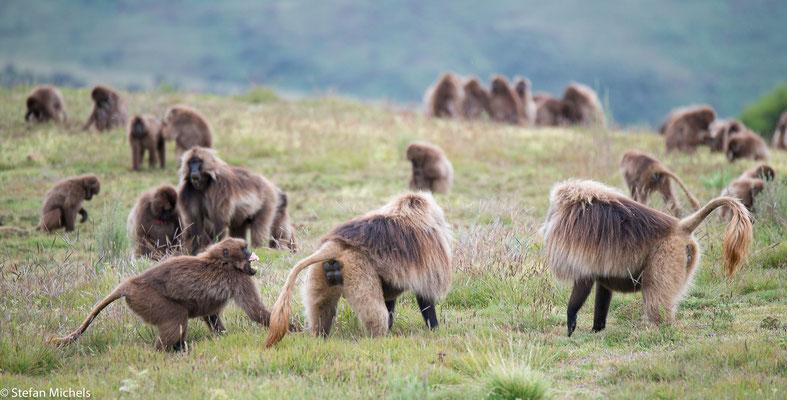Dscheladas -Sie existieren nur noch im äthiopischen Hochland zwischen 2200 und 4400 Metern über dem Meeresspiegel.