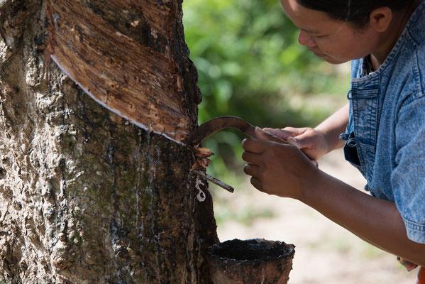 Naturkautschuk wird meist in Südostasien aus Latex gewonnen, dem Milchsaft des ursprünglich aus Brasilien stammenden Kautschukbaums.