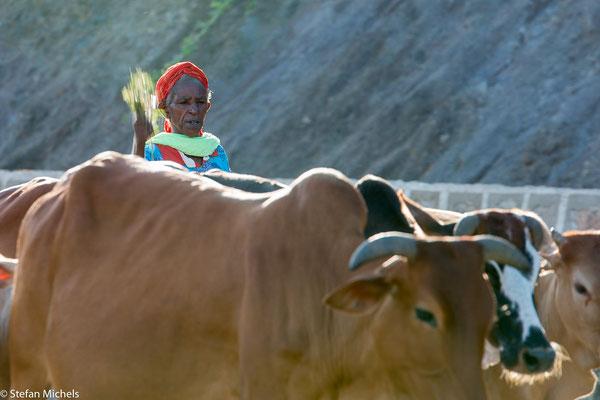 Morgens und Abends wird das Vieh zu oder von den Weiden betrieben.