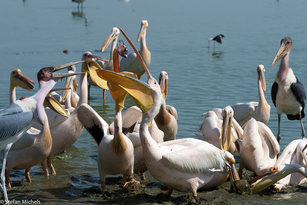 Pelikane kämpfen um die Fischreste.