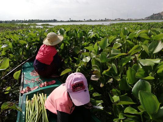 ウォーターヒヤシンス収穫作業 #Pavanasara #Water hyacinth bag