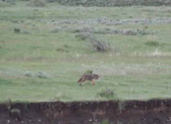 einer der Wölfe
