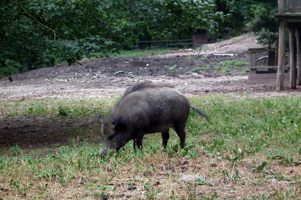 wildpark saarbruecken, wildschweine