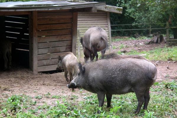 Wildpark Saarbrücken Wildschweine