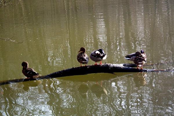 Enten auf dem Netzbachweiher