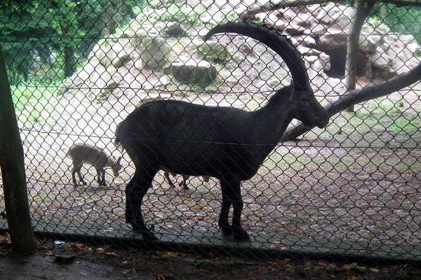 wildpark saarbruecken, steinbock