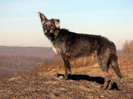 Hund Mink auf der Halde Lydia. Er lauscht dem Ruf der Wildnis