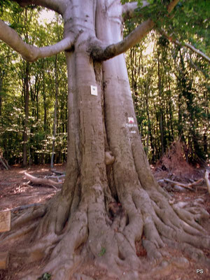 schwarzenberg saarbruecken, zwillingsbaum