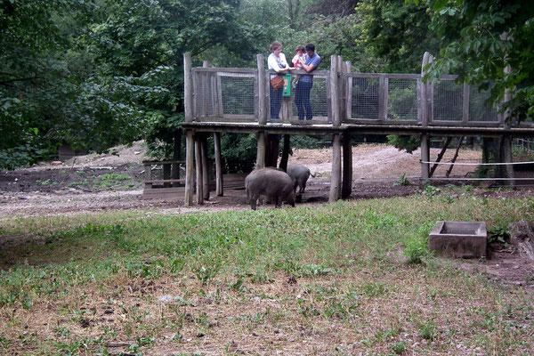wildpark saarbruecken, besucherplattform wildschweingehege
