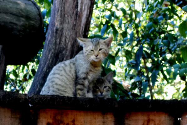 wildpark saarbruecken, wildkatzen nachwuchs