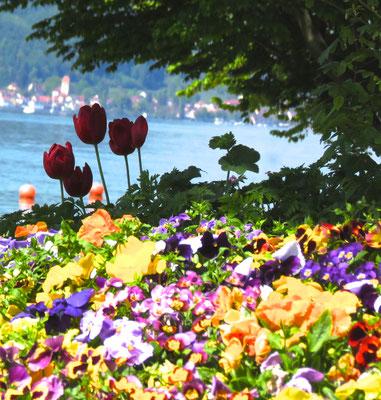 Blumen am Strandbad in Frühling Sipplingen am Bodensee