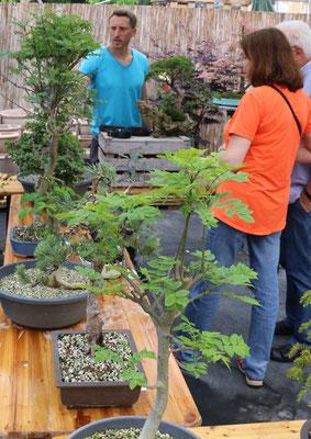 Großes Interesse für kleine Bäume: Bonsai
