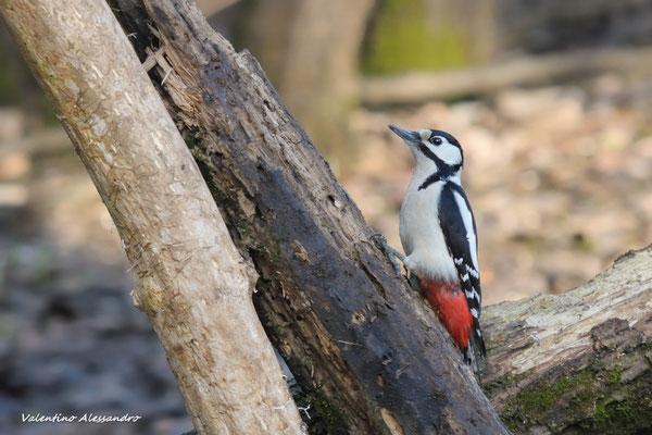 picchi rosso maggiore femmina (foppe di Trezzo)