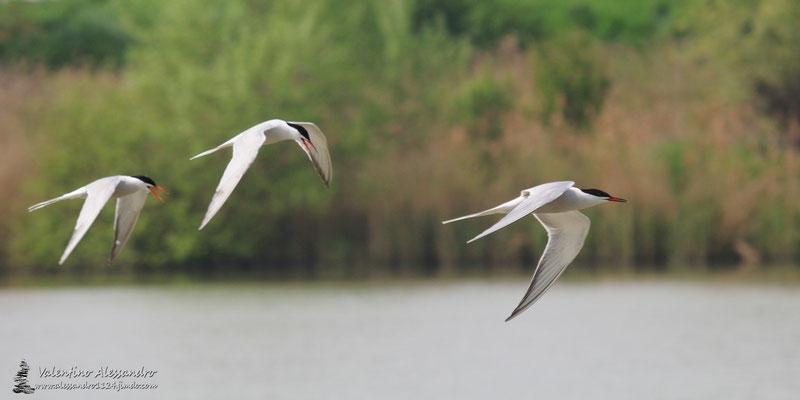 Voli di sterne comuni (oasi Lipu Torrile)