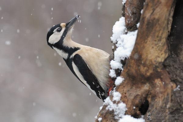 Picchia Daniela sotto la prima neve (Lainate)