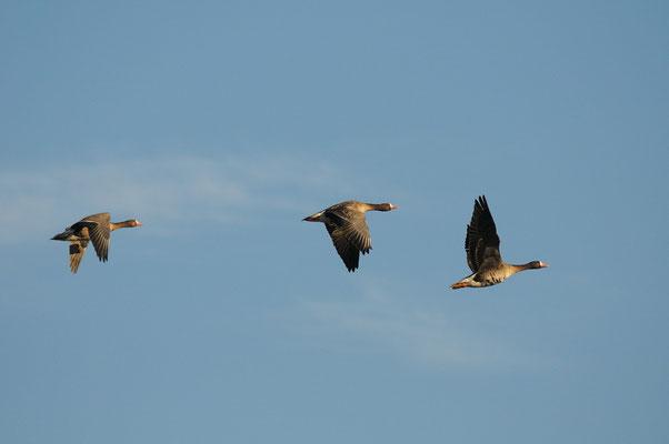 lombardelle in volo (Isola della Cona)