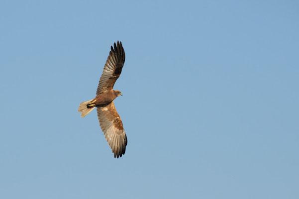Falco di palude in volo (isola della cona)