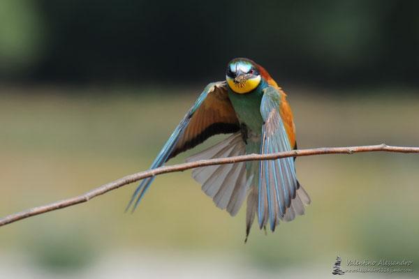 Cacciatore arcobaleno (Graccione parco Adda Sud)