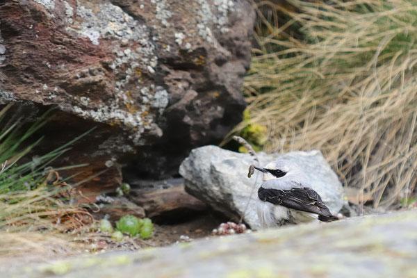Culbianco con preda (Valsavaranche PNGP)