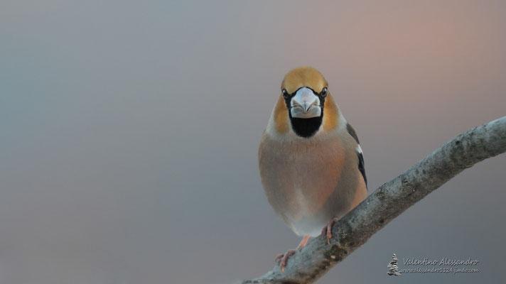 Frosone all'alba (Montevecchia)
