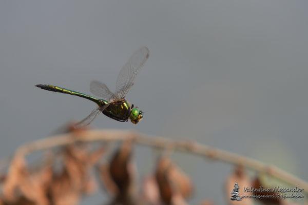 In volo (libellula Sartirana, Settembre 2016)