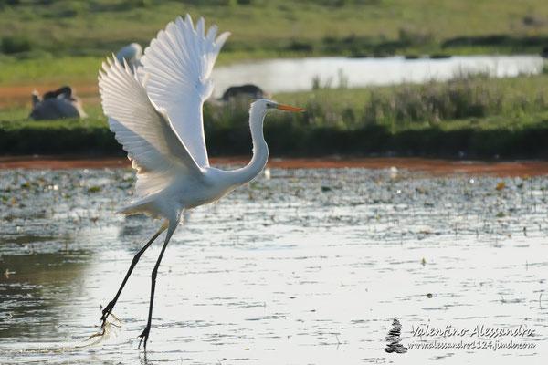 La danza dell'airone bianco (Isola della Cona)