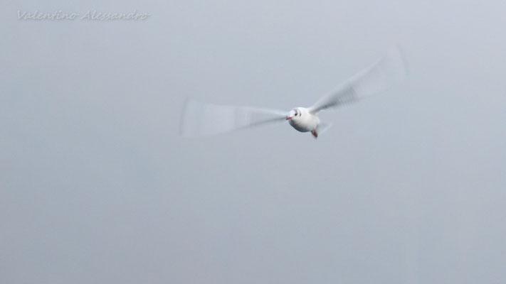 Gabbiano in volo (Trezzo d'Adda)