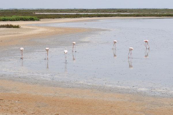 Fenicotteri (Camargue)