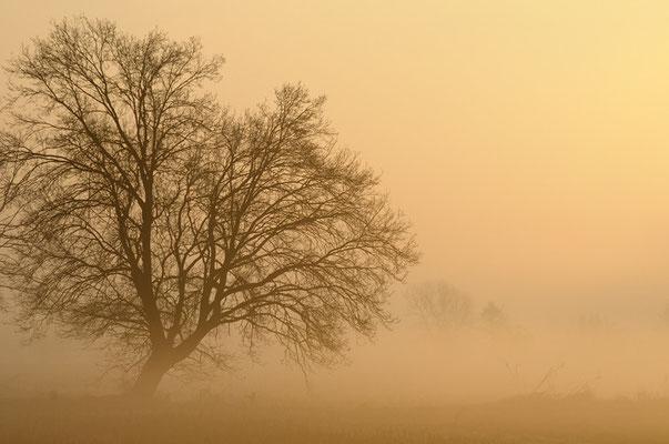 Albero nelle nebbie pavesi