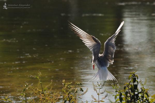 in arrivo al nido (Sterna comune, Oasi Cronovilla)