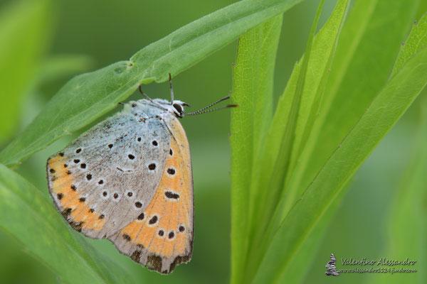 Farfallina (sorgenti della Muzzetta)