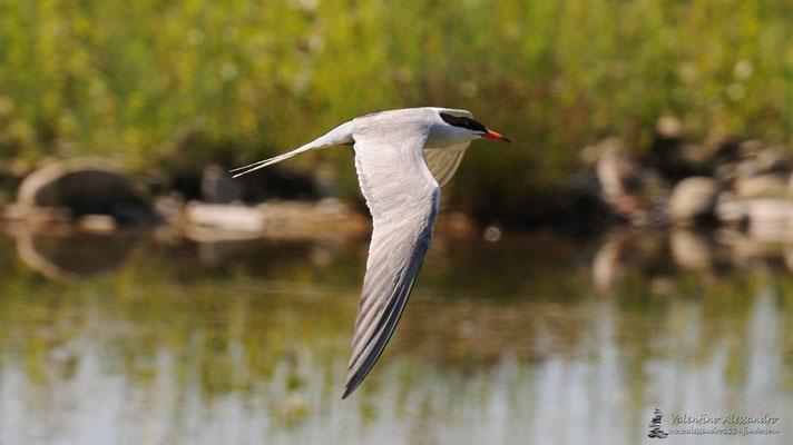 Sterna comune in volo (oasi di cronovilla)