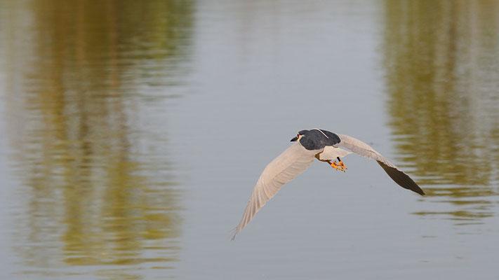 Nitticora in volo (oasi di Torrile)