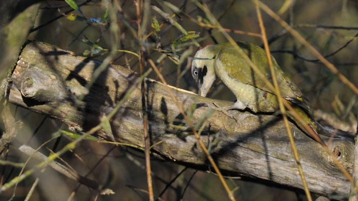 Verde nel verde (Picchio verde, Foppe di Trezzo)