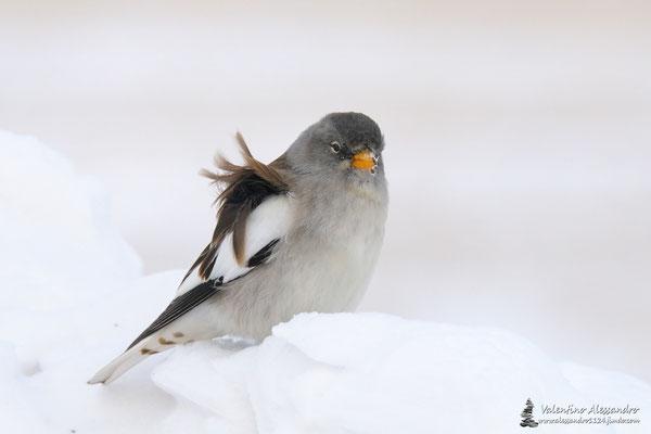 Piume nel vento (Fringuello alpino,Lessinia)
