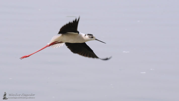 Cavaliere in volo (oasi Lipu Torrile)