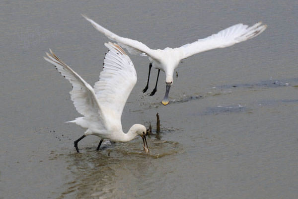 Spatole a pesca (Isola della Cona)