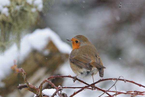 Pettirosso sotto la prima neve (Lainate)