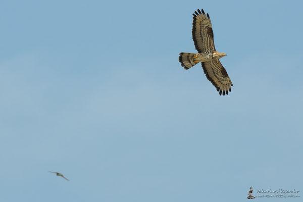 Falco pecchiaiolo (Parco Adda sud)