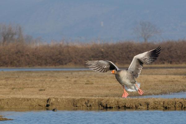 oca selvatica in atterraggio (Isola della cona)