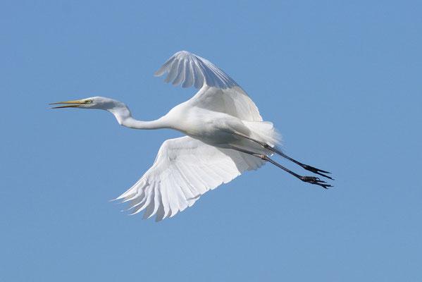 Airone bianco maggiore in volo (canale Isonzato Grado)