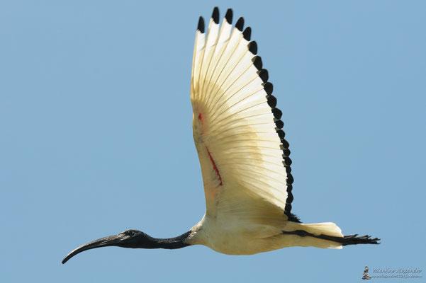 Ibis eremita ( Trino Vercellese)